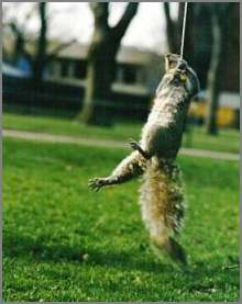 squirrel swinging on a rope