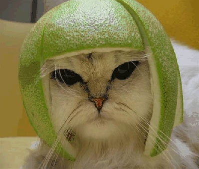 cat with lime helmet