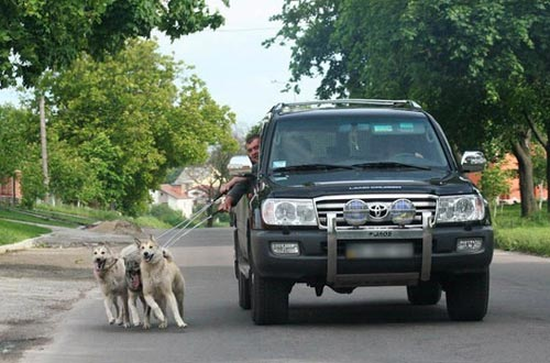 walking dogs in truck