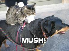 cat riding dog