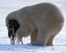 Polar bear cuddles with dog